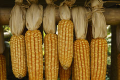 Yellow dried corn hung up for drying. Yellow dried corn on cobs hung on the beam Royalty Free Stock Images