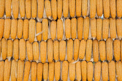 Yellow dried corn texture Stock Photo