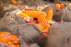 Yellow dried corns Royalty Free Stock Image