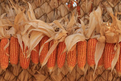 Yellow dried corns for feeding animal hanging in rows for use as background Royalty Free Stock Photo