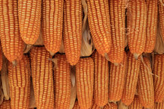 Yellow dried corns hanging in rows for background Stock Photo