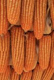Yellow dried corns hanging in rows for background Stock Photos