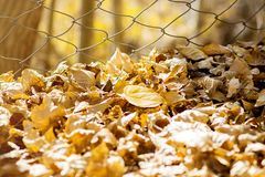 Yellow dried leaves on ground. In autumn season on blur background, warm tone image Stock Photo
