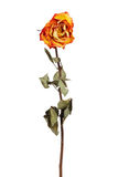Yellow dried rose Stock Image