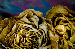 Yellow dried roses Royalty Free Stock Images