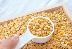 Yellow Dried Soybeans in A Measuring Spoon. Cuisine and Food, Hand Holding A Measuring Spoon Full of Dried Soybeans or Edamame Seeds in A Wooden Tray stock photography