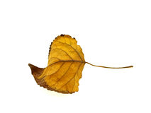 Yellow dry autumn leaf of a tree Royalty Free Stock Photography