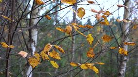 Yellow dry autumn leaves swaying on the thin branches of birch in the light autumn wind in the evening. Yellow dry autumn leaves on a thin birch swaying under stock footage