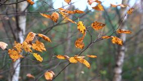Yellow dry autumn leaves swaying on the thin branches of birch in the light autumn wind in the evening. Yellow dry autumn leaves on a thin birch swaying under stock video footage