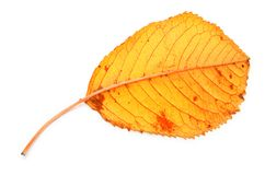 Yellow dry fall leaf Stock Photo