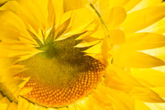 Yellow dry flower in closeup. Lit by the sun Stock Image