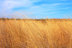 Yellow dry grass field and blue sky Royalty Free Stock Photography