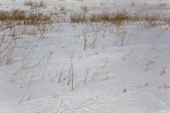 Yellow dry grass sticks out of white snow in a winter field