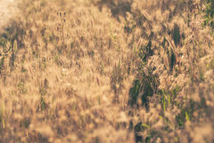 Yellow dry grass at sunset.  Stock Photos