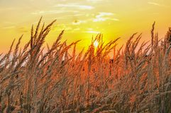 Yellow dry grass in sunset light Royalty Free Stock Photos