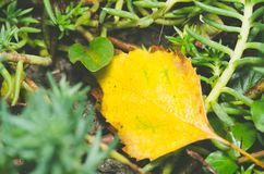 Yellow dry leaf dies on the ground between green garden plants close up selective focus. Royalty Free Stock Photos