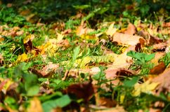 Yellow dry leaves fall on the green grass. Autumn leaf fall. Yellow dry leaves fall on the green grass Stock Photo