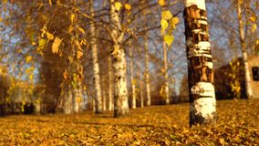 Yellow leaves sway in the wind in the golden autumn. Yellow dry leaves swing from the wind on the branches. Golden autumn in the birch grove in the park stock video