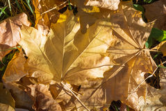 Yellow dry maple leaves on the ground Royalty Free Stock Image