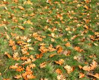yellow dry oak leaves lying on the green grass Stock Photo