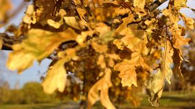 Yellow leaves sway in the wind in the golden autumn. Yellow dry oak leaves waving in the wind against a blue clear sky in golden autumn, close-up stock footage