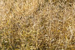 yellow dry pods of crop royalty free stock photos