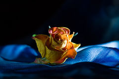 Yellow dry rose on black background. Yellow dry single rose on dark-blue background with backlight stock images