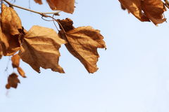 Yellow dry sycamore leaf on blue sky background Royalty Free Stock Images