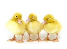 Yellow duck Stock Image