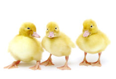 Yellow duck. Small yellow duck on a white background royalty free stock image