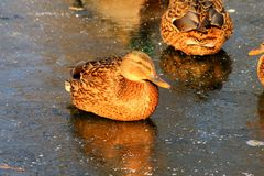 A yellow duck with beautiful feathers sits on the ice of a frozen lake in winter royalty free stock photography