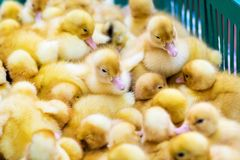 Yellow duck in box for sale at fair. Incubator ducklings for sale royalty free stock photos