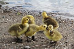 Yellow Duck Chicks stock image