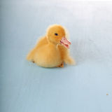 Yellow duckling Royalty Free Stock Photo