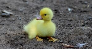 Yellow Duckling on Gray Sand Royalty Free Stock Images