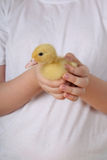 Yellow duckling in hands Stock Photography
