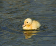 Yellow Duckling Royalty Free Stock Photography