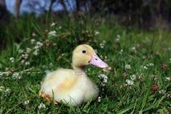 Yellow Duckling Stock Photos