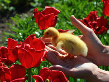 Yellow duckling in red tulips. Hands holding litlle duckling in red tulips Stock Photo