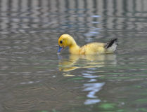Yellow duckling. The yellow duckling swimming in nature Royalty Free Stock Image