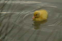 A yellow duckling Stock Photos