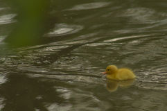 A yellow duckling Royalty Free Stock Photos