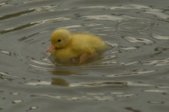 A yellow duckling Royalty Free Stock Image