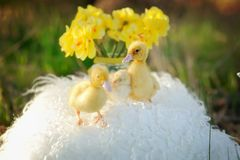 Yellow ducklings Stock Photography