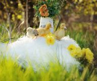Yellow ducklings Stock Image