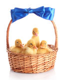 Yellow ducklings in a basket Royalty Free Stock Photos