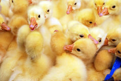 Yellow ducklings Stock Photo