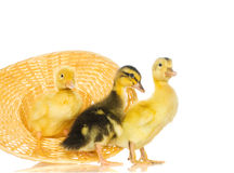 Yellow ducklings on a white background Stock Photos