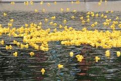 Yellow ducks royalty free stock image