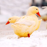 Yellow ducks in snow stock images